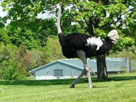 Ostrich 06 by Unseelie-Stock