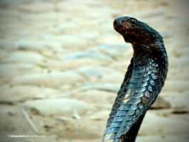 Black Cobra by IshqAatish