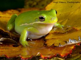 Green tree frog by AngiWallace