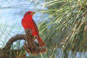 Summer Tanager by xDoglate