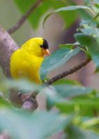 American Goldfinch-Leafy Perch by JestePhotography