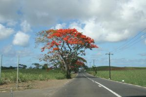 Red tree, Maurice by Rovis2