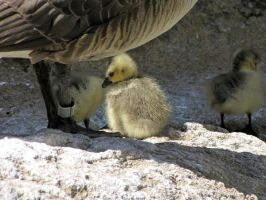 Goose Chick 2 by Pawz2142