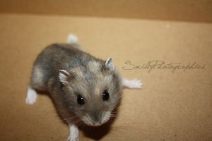 Hamster by SmileyDignam