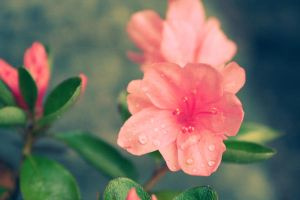 vintage pink flowers 1 by onlyalive8