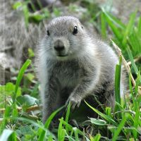 Black-tailed Prairie Dog (002) by Sikaris