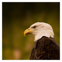American Bald Eagle by Sourced