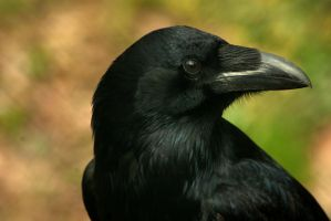 Raven, my new totem... by steppeland