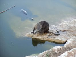 Nutria by MyArtself