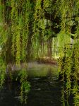 Weeping Willow by dark-rose89
