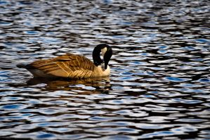 Goose In water by Athronos