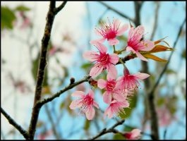 Cherry Blossom by WillTC