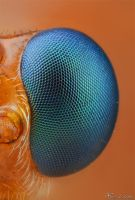 Parasitoid Wasp's eye by AlHabshi