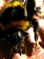 Bumble Bee by Annas-Day-Dreams