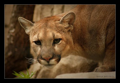 Cougar by WhitePaws1