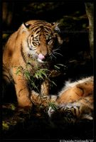 Baby Tigers: Go Veg by TVD-Photography