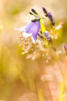 bellflower by kacper00001