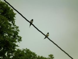 Swallows On A Wire by harrietbaxter