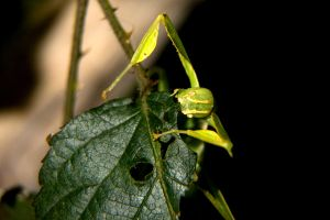 2010 Whipsnade 13 Leaf Insect by JimmyJam75