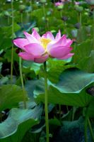 Water lily IV by AMMozart