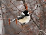 Winter Chickadee by sgt-slaughter