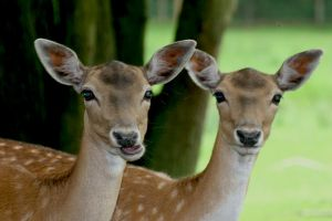 Deer - Rehe by archaeopteryx-stocks