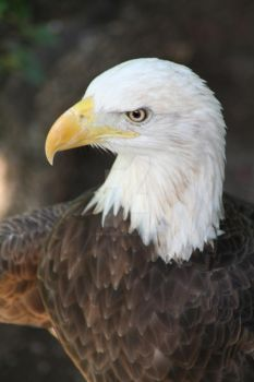 The American Bald Eagle by AmethistFlame