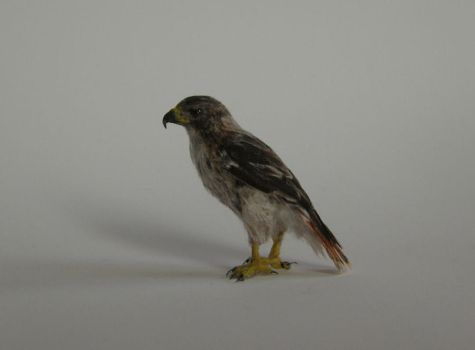 Red-Tailed Hawk by AnyaStone