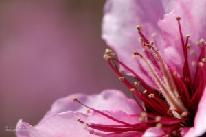 Pink Stamen by Gil-Levy