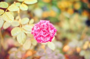 Pink Gift by Rafael-Alysson