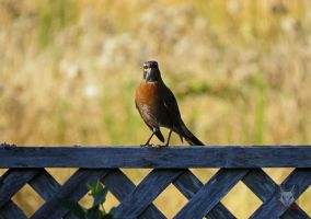 Robin On Fence by wolfwings1