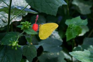 The Yellow Butterfly by lifeinedit