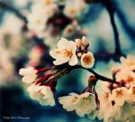 Just a Memory of Spring VI by MyLifeThroughTheLens
