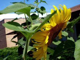 Sunflower - 03 by Zeds-Stock