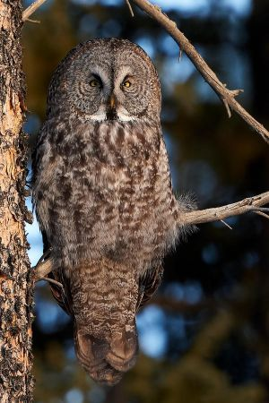 Great Grey Owl - woodland Portait by JestePhotography
