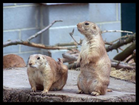 Prairie Dogs by Rose-Of-Sin