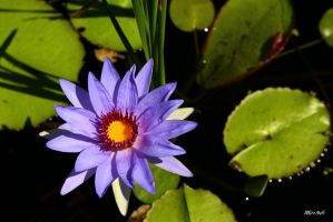 Water Lily by Doumanis