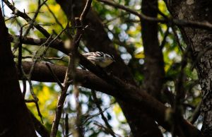 Black-and-white Warbler X. by swampliquor