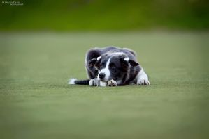 Border Collie by Delariz