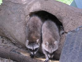 Young Raccoons 18 by Windthin
