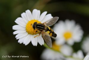 Daisy meets Hoverfly by bluesgrass