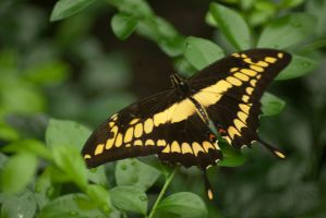 King Swallowtail by steppelandstock