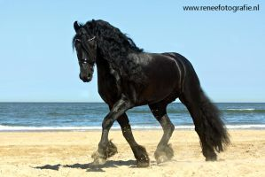 Friesian stallion beache2 by lifaya