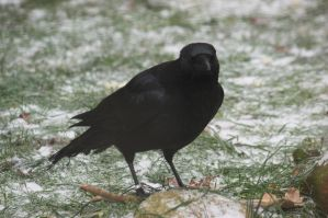 Carrion crow 2 by bookscorpion