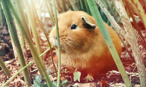 Guinea Pig by Coco27