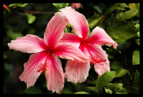 double pink flower by lynx92003