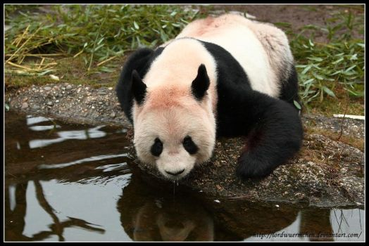 Thirsty panda by AF--Photography