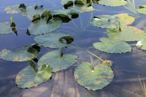 Lilly Pads by FranklymyDeer