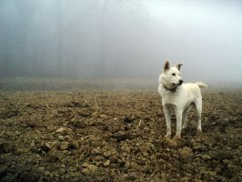 White Swiss Shepherd Dog by LazieDog