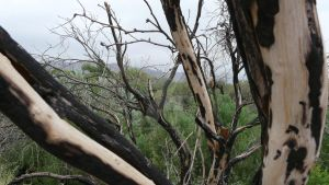 Burned trees in Coventing Park by Priestesspunx